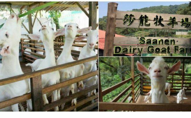 Saanen Dairy Goat Farm in Penang - a perfect play for family visits with electric bike riding.